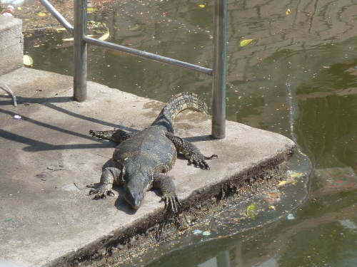 Water Monitor in the Canals of Bangkok. Gross.